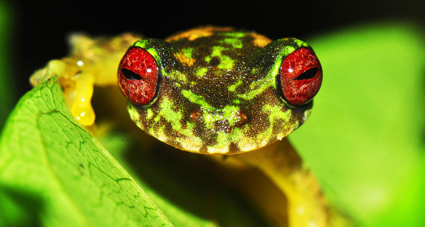 Endangered mossy red-eyed frogs